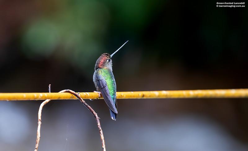 Green-fronted Lancebill