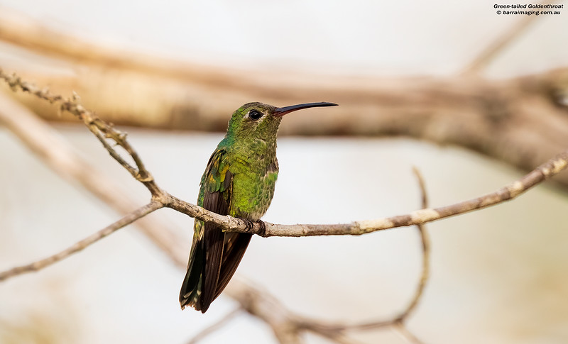 Green-tailed Goldenthroat male