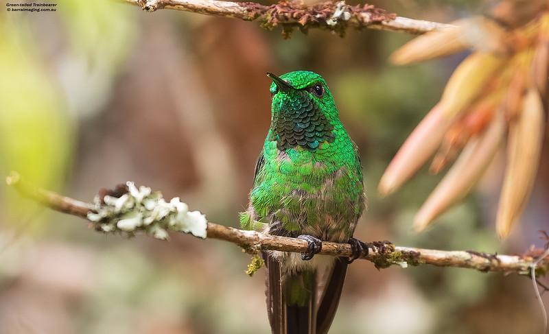 Green-tailed Trainbearer male