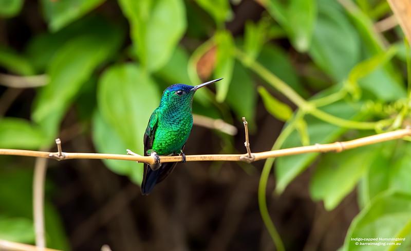 Indigo-capped Hummingbird