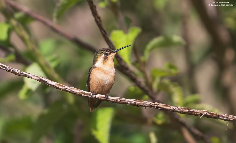 Little Woodstar female