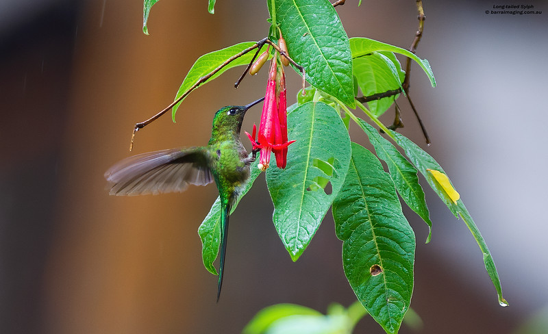 Long-tailed Sylph male