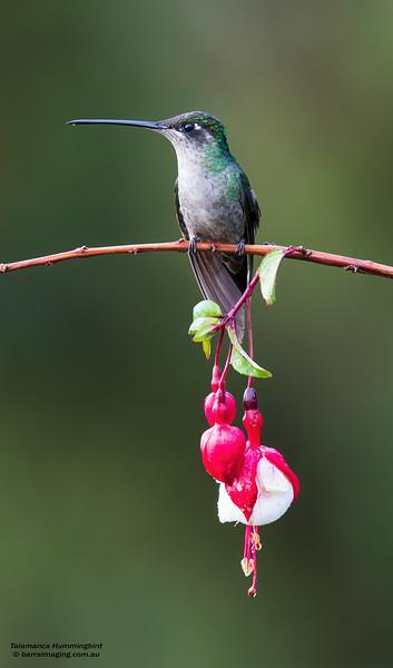 Talamanca Hummingbird female