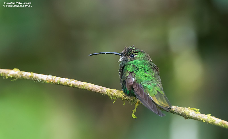 Mountain Velvetbreast male