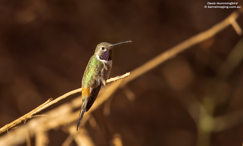 Oasis Hummingbird male