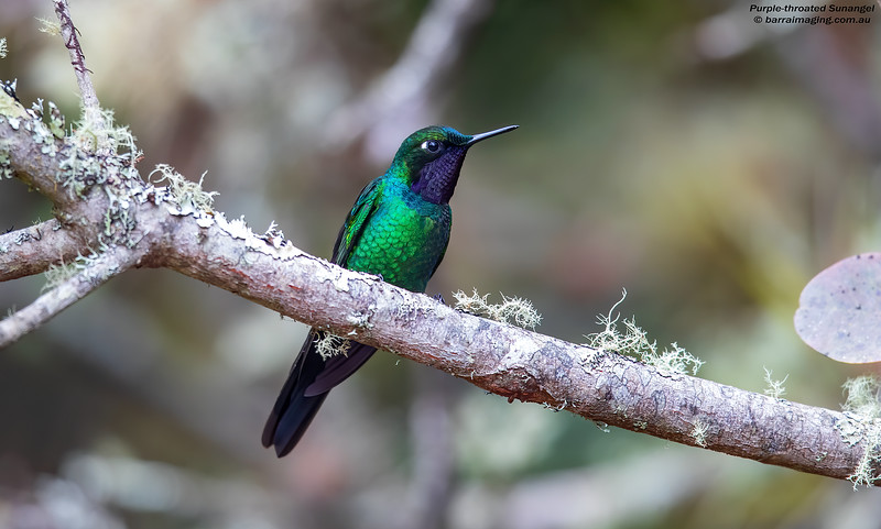 Purple-throated Sunangel male