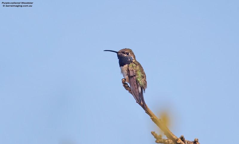 Purple-collared Woodstar male