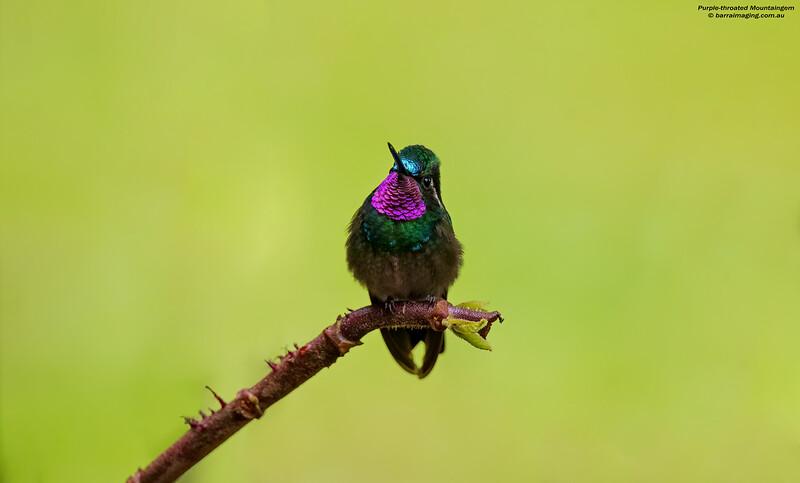 Purple-throated Mountaingem male