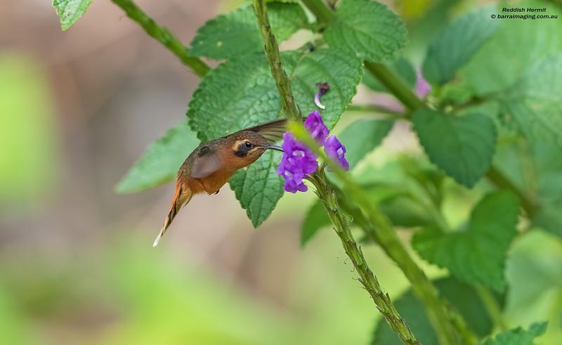 Reddish Hermit female