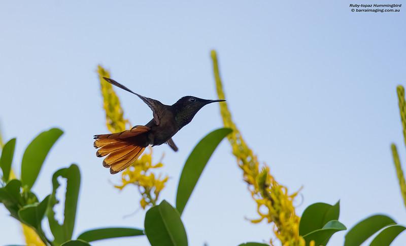 Ruby-topaz Hummingbird male