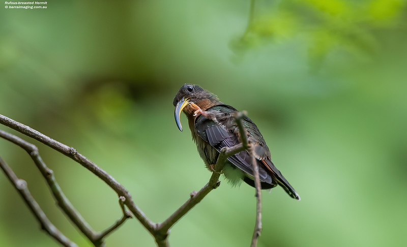 Rufous-breasted Hermit female