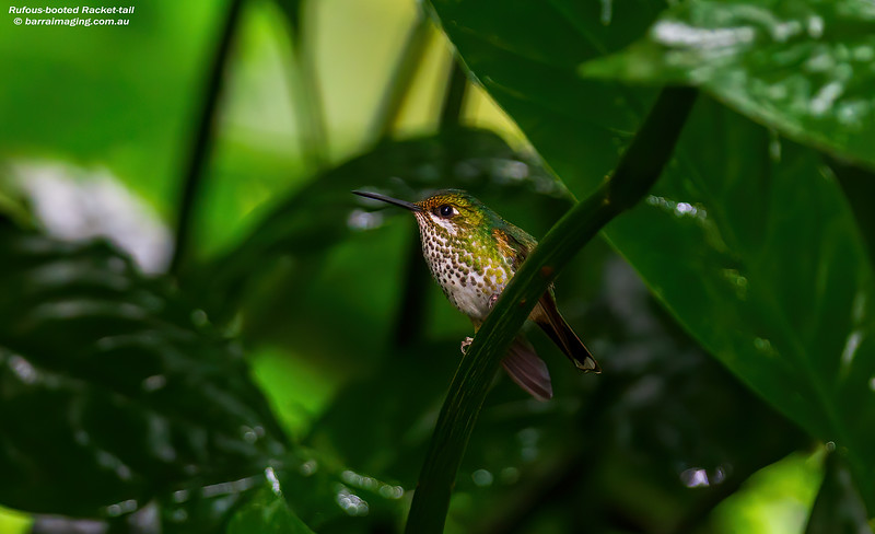 Rufous-booted Racket-tail female