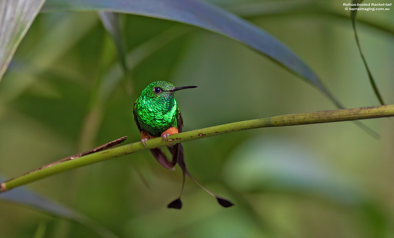 Rufous-booted Racket-tail male