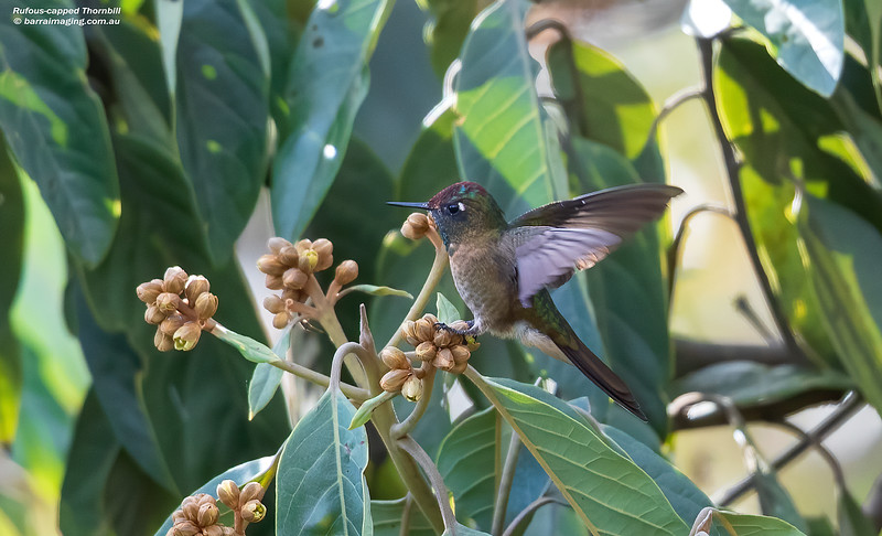 Rufous-capped Thornbill male
