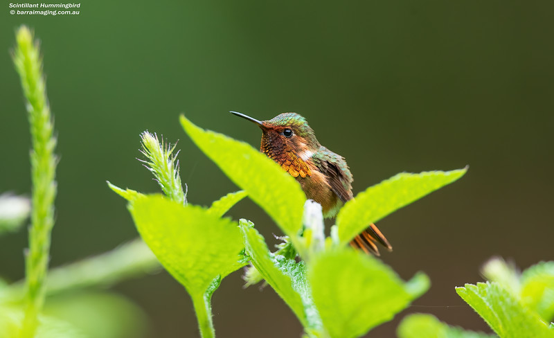 Scintillant Hummingbird male