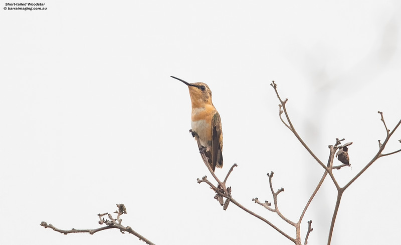 Short-tailed Woodstar female