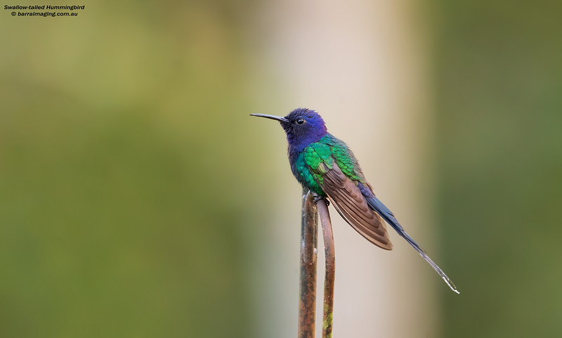 Swallow-tailed Hummingbird