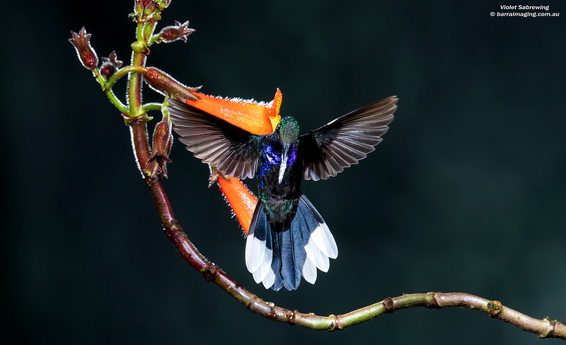 Violet Sabrewing male