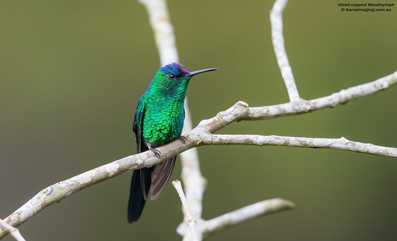 Violet-capped Woodnymph male