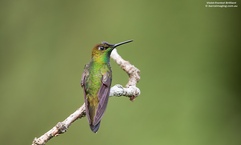 Violet-fronted Brilliant male