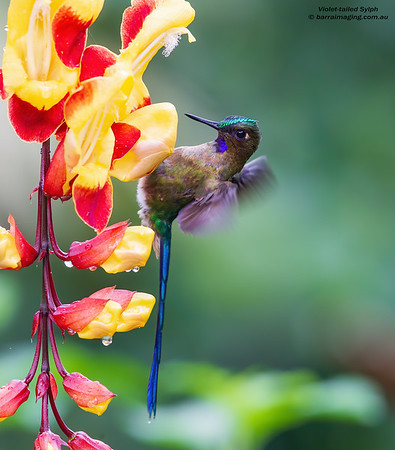 Violet-tailed Sylph male