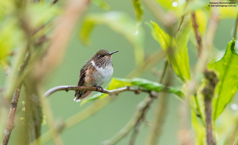 Volcano Hummingbird female