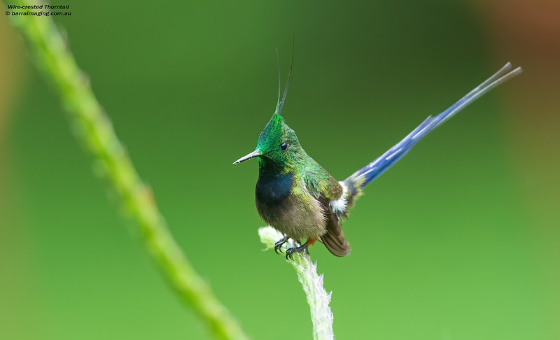 Wire-crested Thorntail male