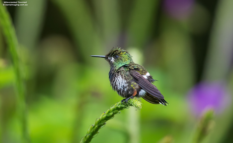 Wire-crested Thorntail female