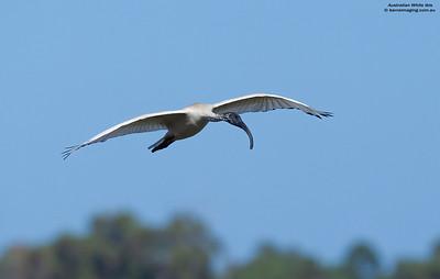 Australian White Ibis immature