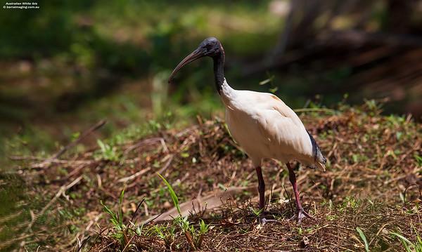 Australian White Ibis adult