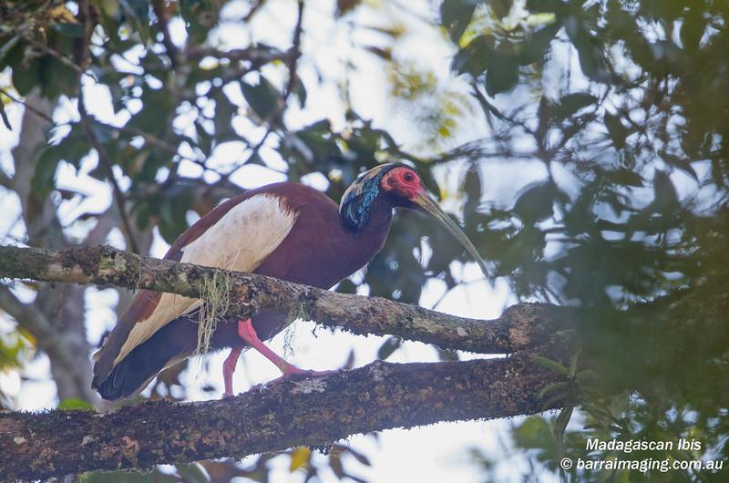 Madagascan Ibis