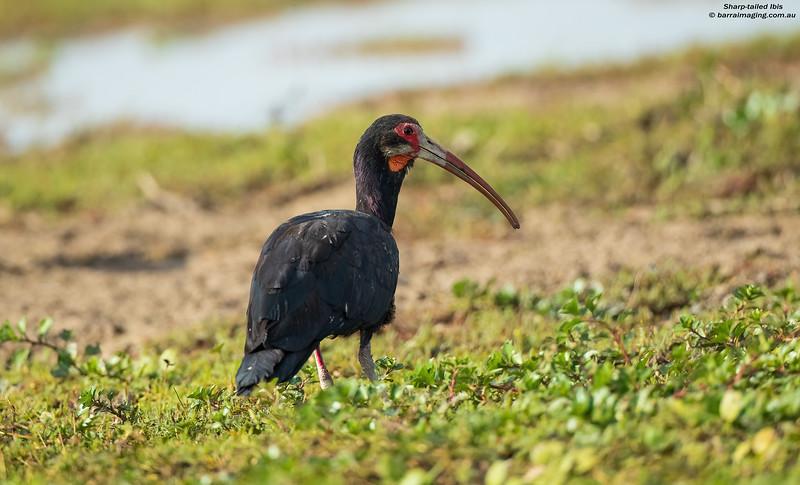 Sharp-tailed Ibis