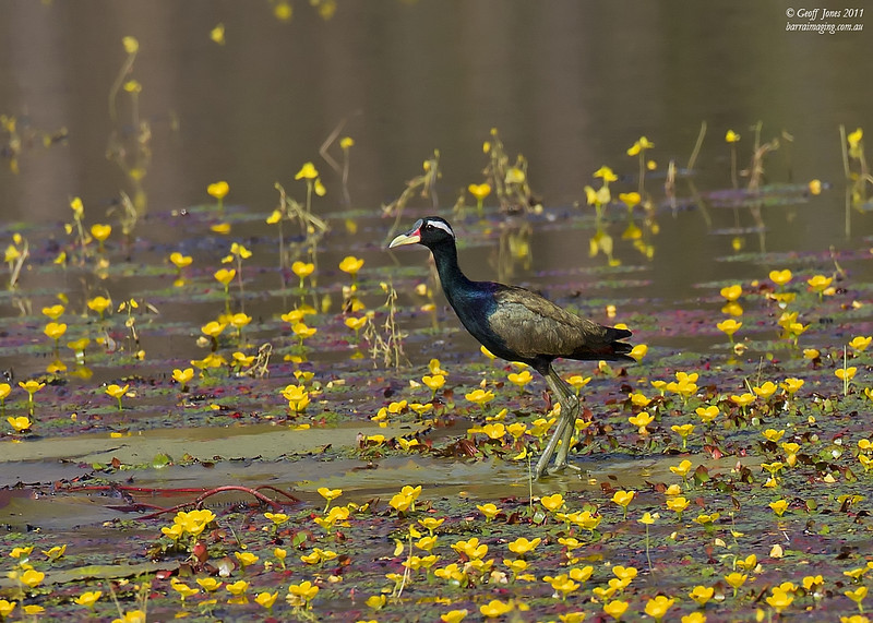Bronze-winged Jacana