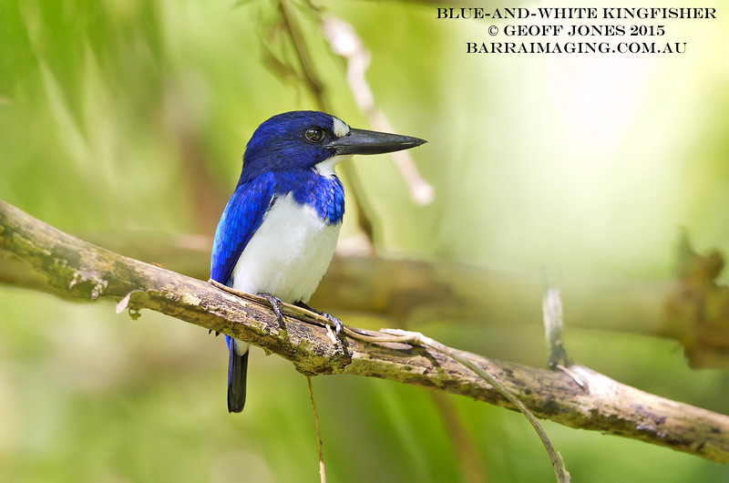 Blue-and-white Kingfisher female