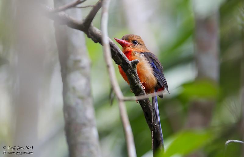 Brown-headed Paradise Kingfisher