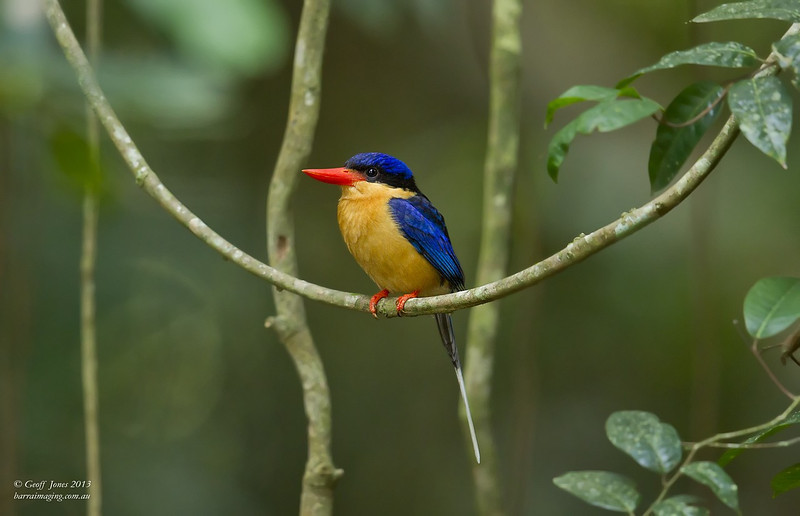 Buff-breasted Paradise Kingfisher
