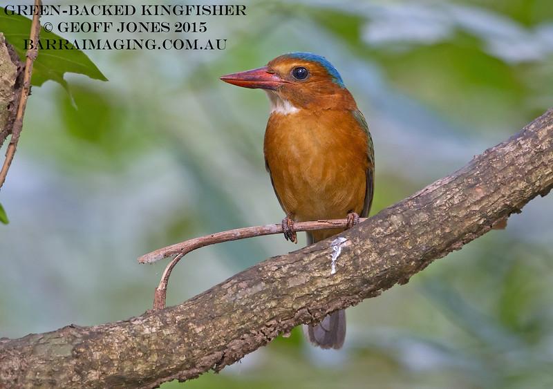 Green-backed Kingfisher female