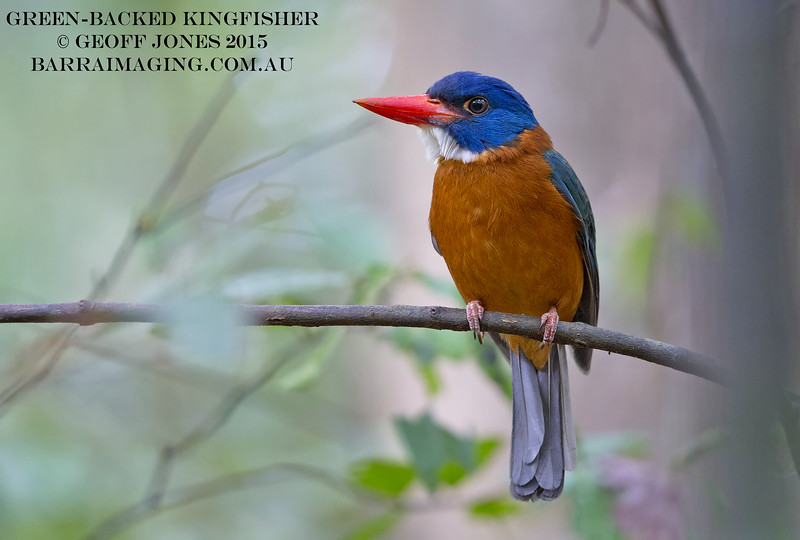 Green-backed Kingfisher male