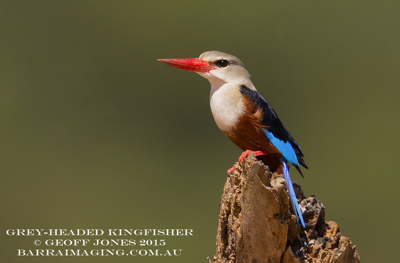 Grey-headed Kingfisher