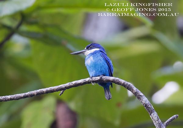 Lazuli Kingfisher female
