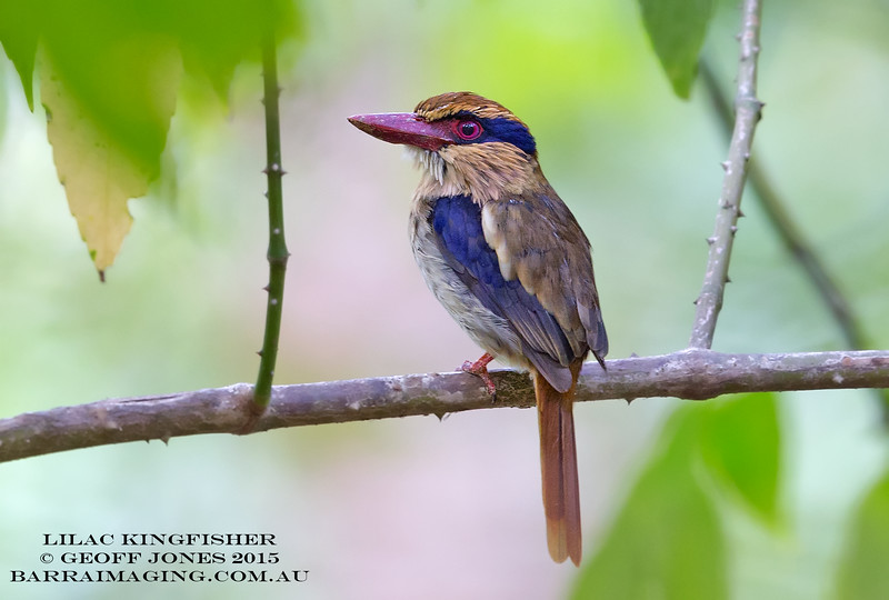 Lilac Kingfisher female