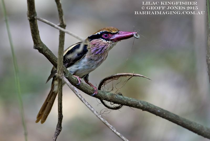 Lilac Kingfisher male