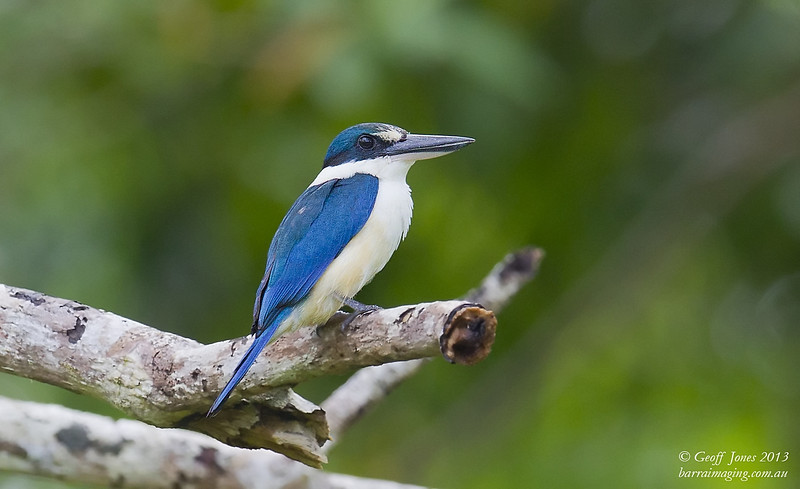 Melanesian Kingfisher