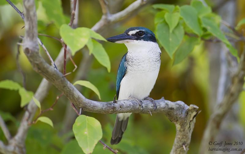 Pacific Kingfisher'