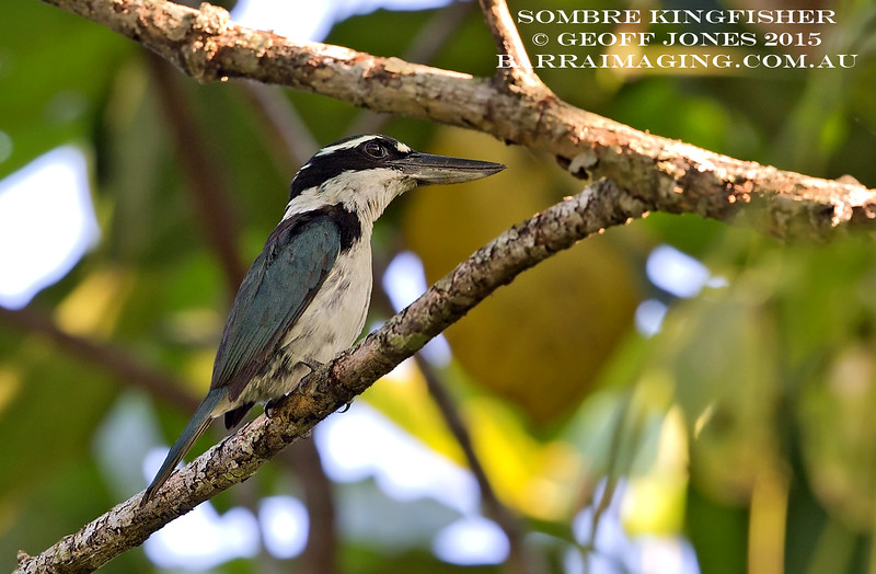 Sombre Kingfisher