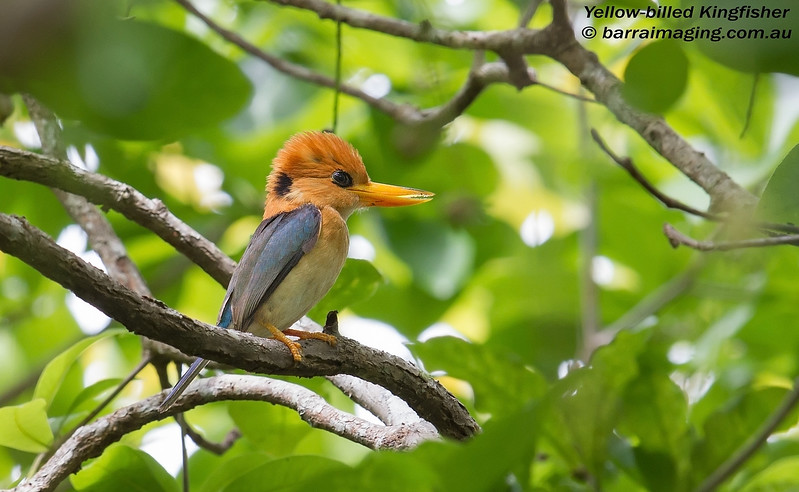 Yellow-billed Kingfisher male