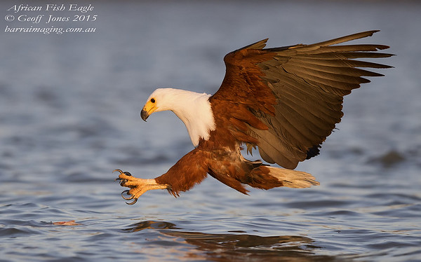Kites, Hawks and Eagles Family Accipitridae