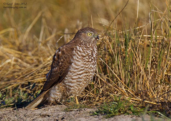 Brown Goshawk immature
