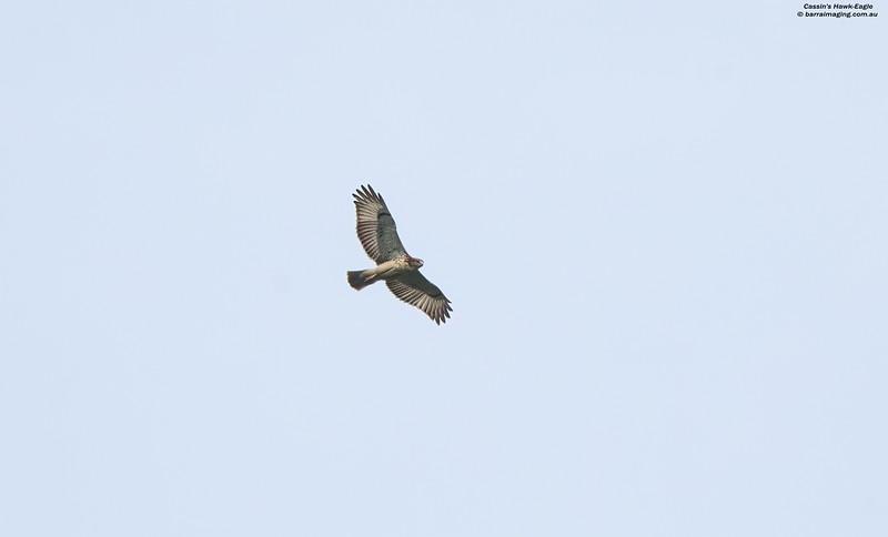 Cassin's Hawk-Eagle