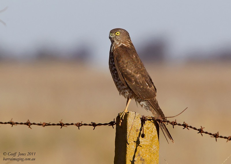 Collared Sparrowhawk immature